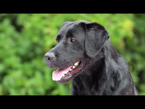 Labrador Retriever Puppy Training - Lexington, KY