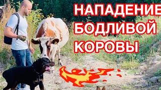 ТРЕШ!!! БОДЛИВАЯ КОРОВА АТАКУЕТ!!!