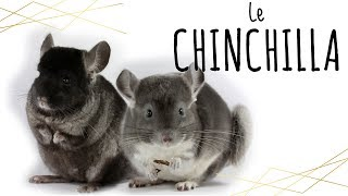 Le CHINCHILLA : présentation (rongeurs)