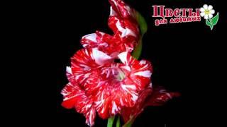 Как распускаются амариллис,  гладиолус, лилия и другие цветы.  ускоренная съёмка(Доставка свежесрезанных цветов по городу Борисоглебску, области, стране и миру лично в руки получателю...., 2016-04-04T04:22:00.000Z)