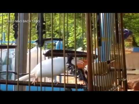 Cặp chim chào mào bạch tạng đắt giá và quý hiếm