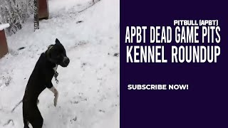 APBT DEAD GAME PITBULL - KENNEL ROUNDUP