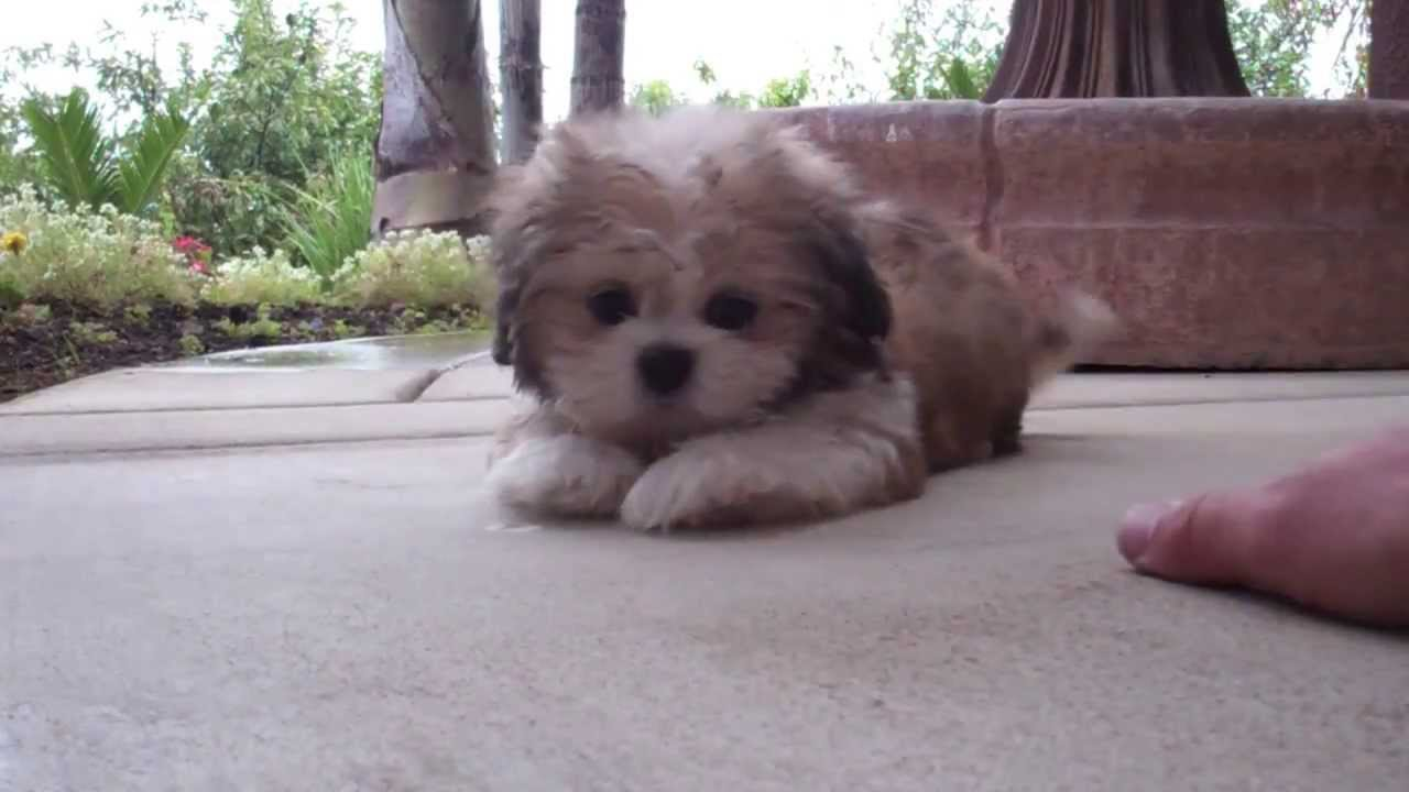 Cooper The Amazing Puppy Teddybear Mal Shi For Sale In