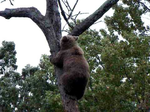 baby european brown bear climbs tree youtube