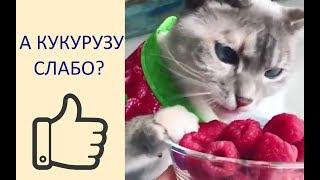 ПРИКОЛЫ С КОТАМИ. Смешные коты и кошки. Ест Ли Кот Кукурузу?