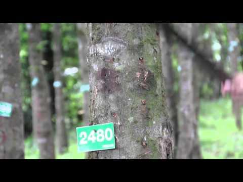 Treedom VDO (7) :Agarwood Forming Black Resin  Process