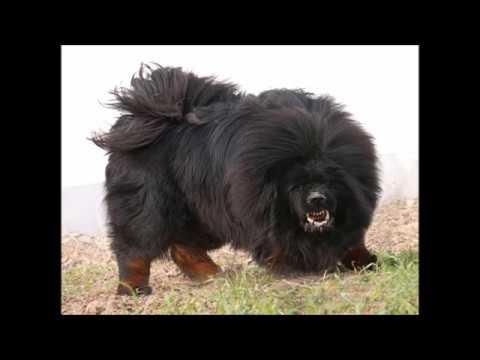 tibet mastiff der teuerste hund der welt youtube. Black Bedroom Furniture Sets. Home Design Ideas