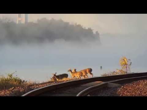 Deer swim across Mississippi River