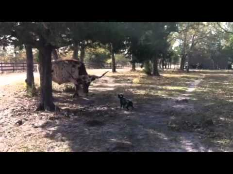 Boston Terrier Vs. Longhorn