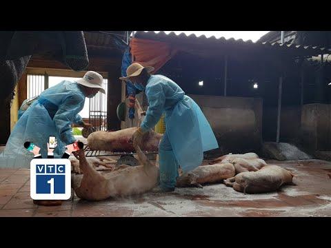 Bắc Giang: Chính quyền bất lực trước dịch tả lợn
