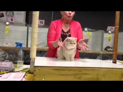Best kitten mid Ohio cat fanciers