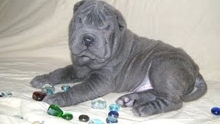 SHAR-PEI puppy, blue boy  2 , for sale.