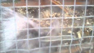 My New Rabbit, Sooty, Binky-ing