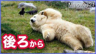 カラスを背後から狙った結末が意外すぎた【ホッキョクグマ】リラのラッコに癒やされる デナリに群がるカラス集団 Polar Bears Life