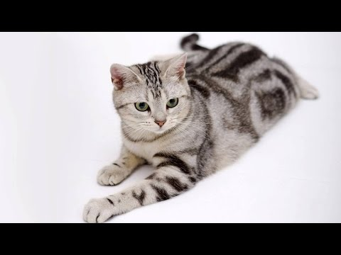 American Bobtail Domestic ` Wild ' Cat