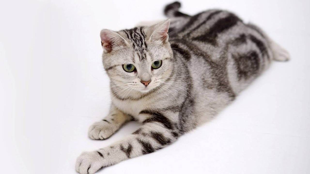 American Bobtail Domestic Wild Cat