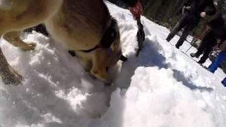 Avalanche Rescue Dog Training