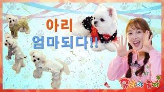 [유라] 애완동물(pet)_강아지 아리 06화 아리 엄마되다! 아기강아지 금동 은동 동동 강아지키우기 강아지 출산 보양식 dog breed puppy