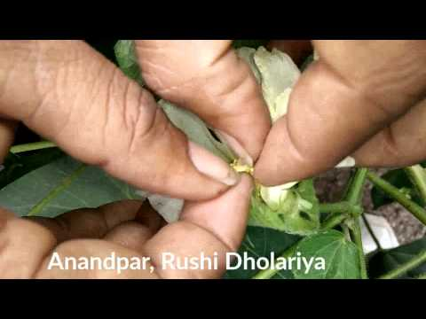 Cotton Pest Pinkbollworm in Rajkot 2015