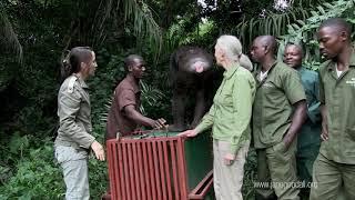 La chimpancé Wounda, una historia de esperanza