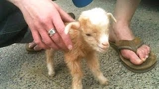 Funny and Cute Baby Goat - Best Funny Baby Goats Compilation