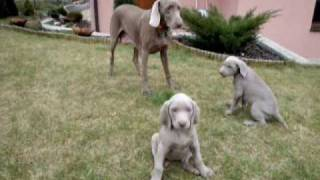 Grey Valley Weimaraner Puppies 3