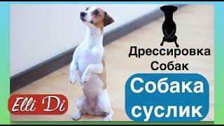 Собака-суслик ЖДЁТ ! Дрессировка собак с Elli Di.