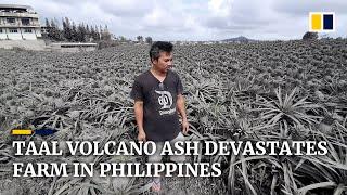 Taal Volcano ash buries pineapples, devastating farm in Philippines