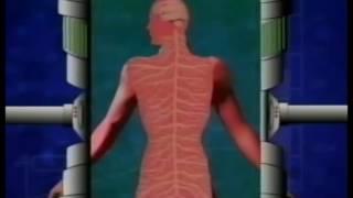 Involuntary Muscular System