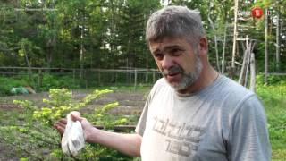 07.07.2017 Житель корсаковского района раздает саженцы кедра