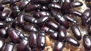 Жук-Знахарь Ulomoides dermestoides (Coleoptera, Tenebrionidae) В Украине