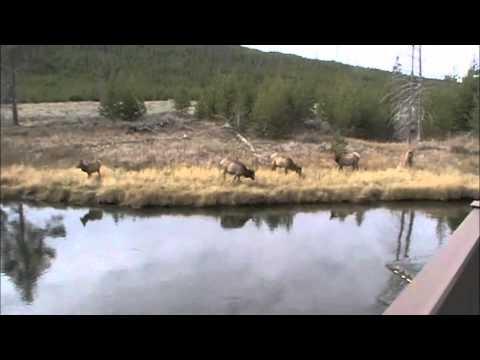 Yellowstone Elk.m4v