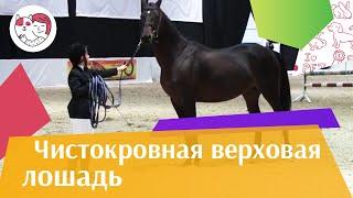 ЛОШАДИ Чистокровная верховая порода ЭКВИРОС 2016 на ilikepet