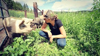 Pasturing Pigs | Setting up Pasture | High Tunnel