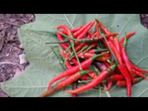 ปลูกผักสวนครัวในกระถาง( ตอนพาเก็บพริกแดงปลูกเองหลังบ้าน) by tang