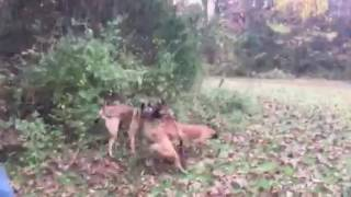 My Malinois and my friends Malinois fight it out