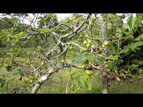 Farmstay in Brazil - Fig Tree