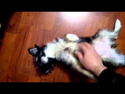 Китайская хохлатая собака Отзывы покупателей