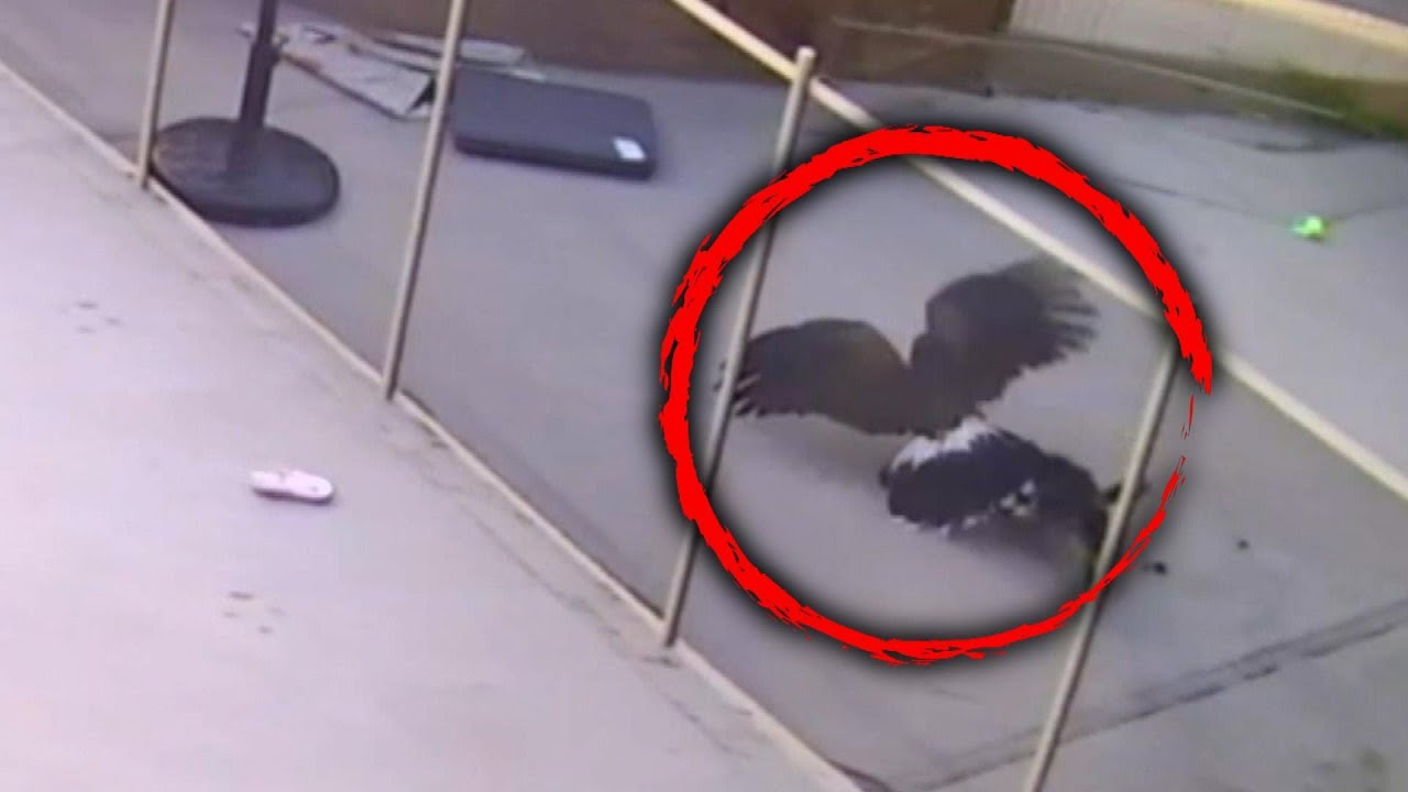 Teen Fights Hawk That Tried To Take Yorkie Pup