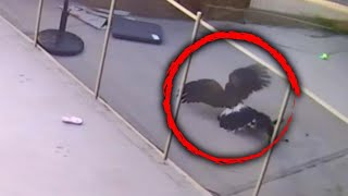 Download Mp3 Teen Fights Hawk That Tried To Take Yorkie Pup