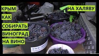 Крым. Как собрать виноград на халяву?