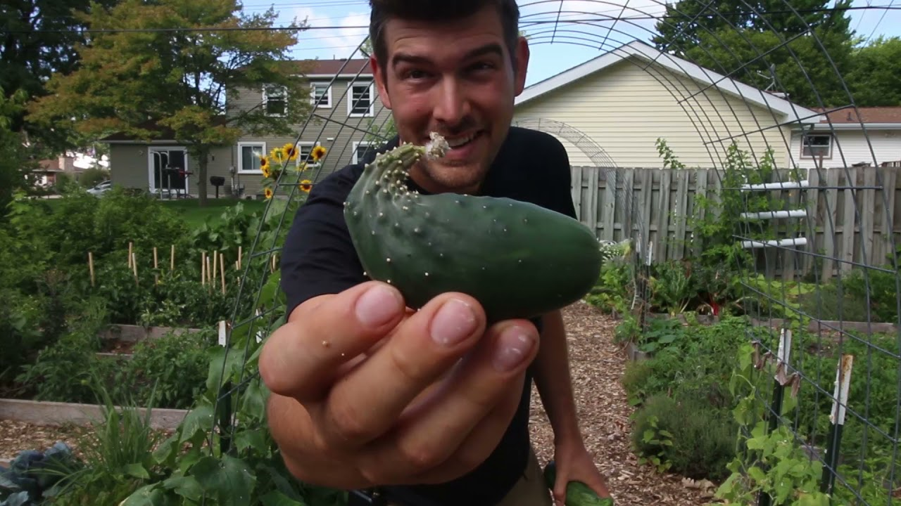 5 Reasons Cucumbers Become Deformed or Misshapen