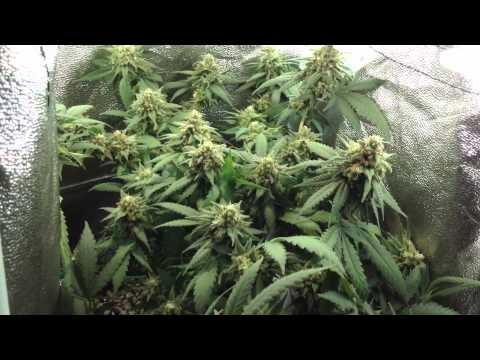 Micro grow sun hut grow tent GDP u2013 Ep.5 Day 41 Flowering : sun hut grow tents - memphite.com
