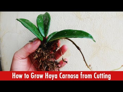 How to Grow Hoya Carnosa Plant from Cutting?