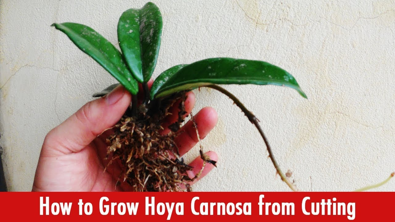 How To Grow Hoya Carnosa Plant From Cutting Youtube
