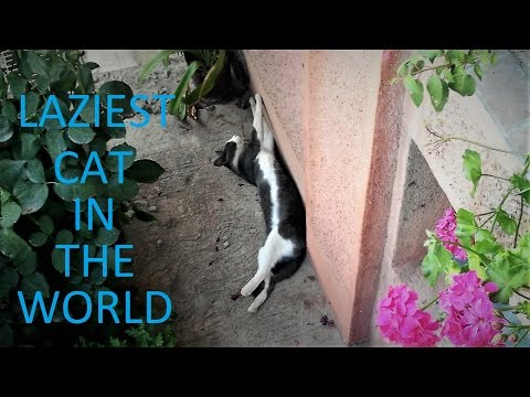 LAZIEST CAT IN THE WORLD - 5 FUNNY CAT FAILS - BEST FAILS OF MONTH
