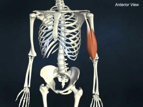 biceps brachii - YouTube