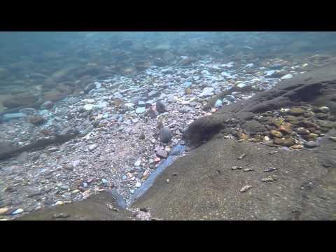 Calapooia lamprey