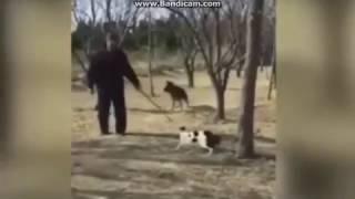 Стая бешеных кошек рвет и кусает большую собаку, кошки бросаются на человека