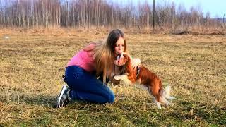 Одним апрельским тёплым днём. Любимый пёс. Кавалер Кинг Чарльз спаниель.